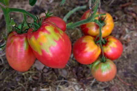 Giant red tomatoes growing on the branch.