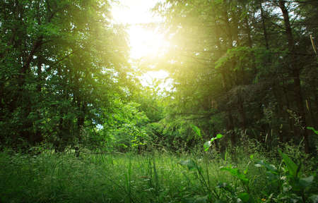 Sunset in beautiful green forest in summer.