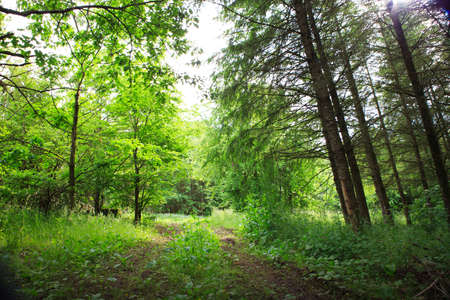 Beautiful green forest in summer.