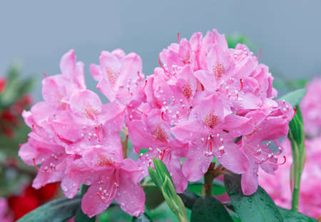 Pink azalea flowers in the spring garden.