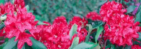 Red azalea flowers in the spring garden. 版權商用圖片