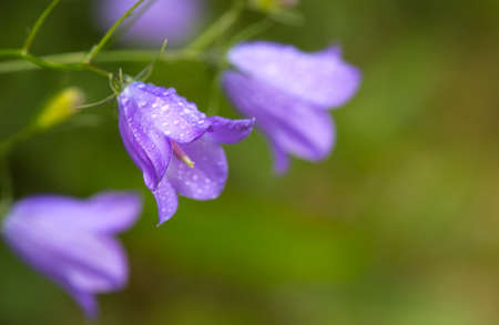 Bell flowers isolated on green blur background