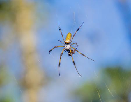 Golden Silk (Banana) Spider