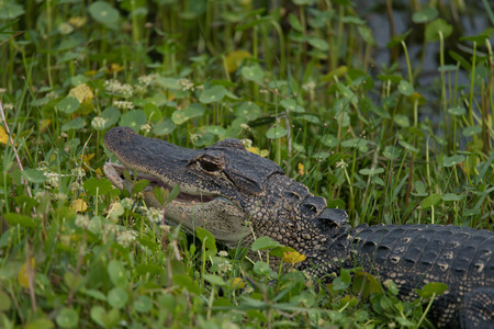 A Young Alligator in the Wetlands Stock Photo