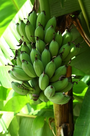 Green Bannana :  Green bannana growing in a fram of Thailand. Stock Photo