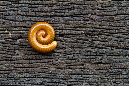 Millipede rolls on rotting wood   Millipede rolls on the background of beautiful wood decay