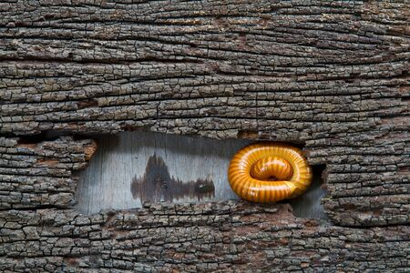 Millipede rolled in rotten wood   Millipede rolled in the timber and wood decay background is beautiful