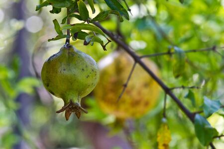 Pomegranates green   Not ripe pomegranate  on a background blur   Stock Photo