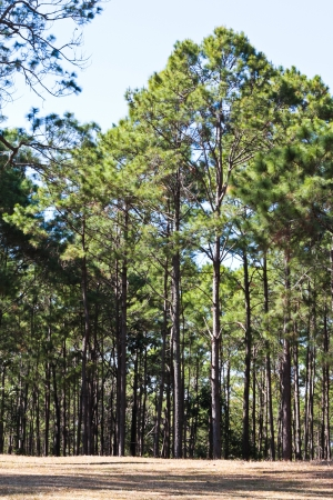 Pine forest,  Planting pine tree to conserve the environment and natural attractions in the province of Chiang Mai to Chiang Rai in northern Thailand  Stock Photo