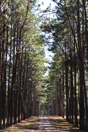 Rut in the pine forest,  Planting pine tree to conserve the environment and natural attractions in the province of Chiang Mai to Chiang Rai in northern Thailand
