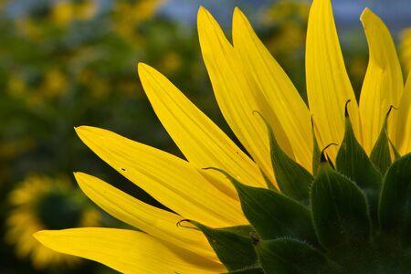 Sunflower petals backlit sun,  Petals yellow sunflower sun light beautifully