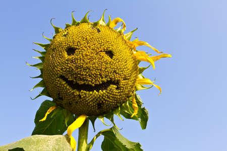 Sunflower smile,  Sunflower yellow smile