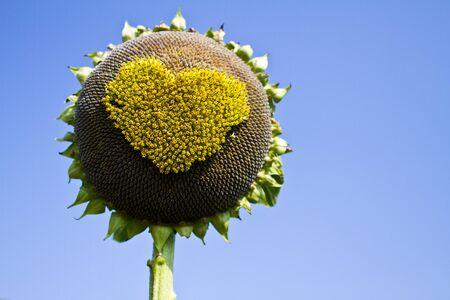 Sunflower hearts,  Pollen of sunflower hearts