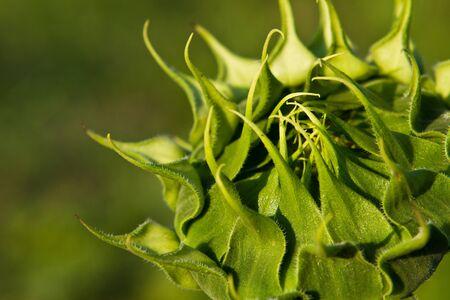 First sunflower bloom,  The first yellow sunflower blossom,
