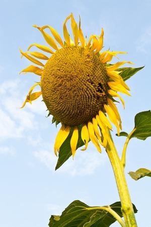 Sunflower wilt,  Yellow sunflower wilt,