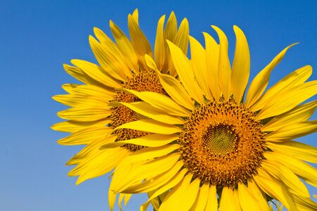Sunflower with beautiful background,  Yellow sunflower against a beautiful background,