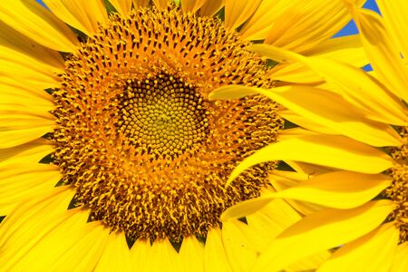 Sunflower with beautiful background,  Yellow sunflower against a beautiful background, photo