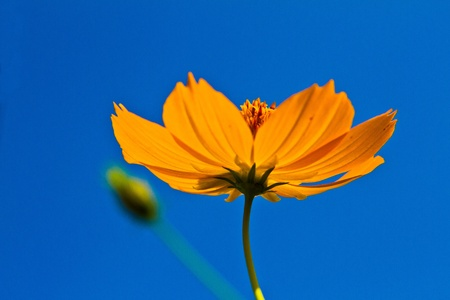 Cosmos flowers with blue sky background,  Orange cosmos flower backlit with sky blue background, Stock Photo