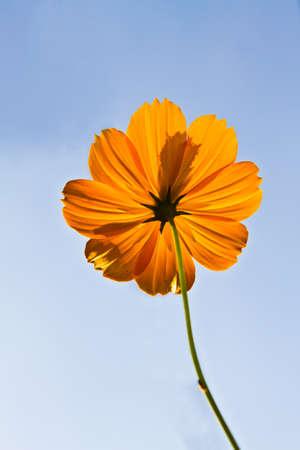 Cosmos flowers with blue sky background,  Orange cosmos flower backlit with sky blue background, Stock Photo