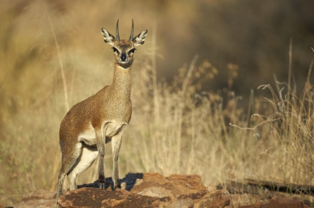 african safari: Male steenbok standing guard on a rocky outcrop Stock Photo