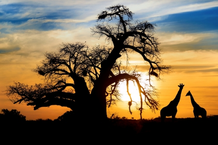 Spectacular African sunset with Baobab and Giraffe