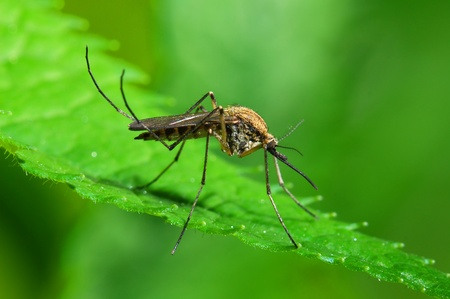 malaria: Mosquito on green leaf
