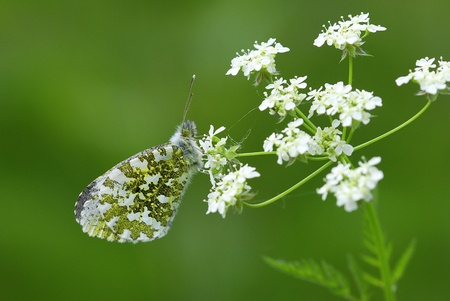 Female orange tip (Anthocharis cardamines) photo