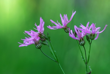 Delicate lilac flowers of the Ragged Robin (Lychnis flos-cucúli)