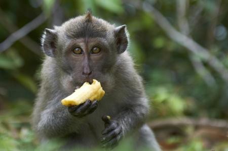 크랩 먹는 원숭이 Macaca의 fascicularis을 스톡 콘텐츠