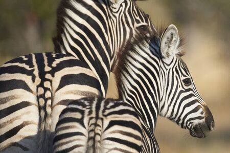 얼룩말의 어머니와 어린 새끼