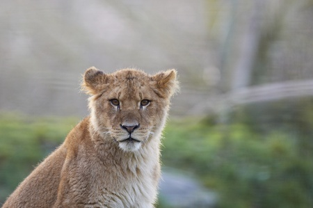 젊은 사자 레오 panthera의 초상화