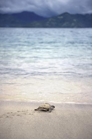젊은 올리브 ridley Lepidochelys olivacea 바다 해변에서 크롤링 스톡 콘텐츠