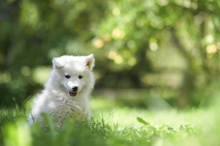 사모예드 강아지 강아지의 초상화 스톡 콘텐츠 - 15921316
