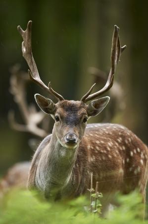 fallow deer: head shot of a fallow deer stag  dama dama