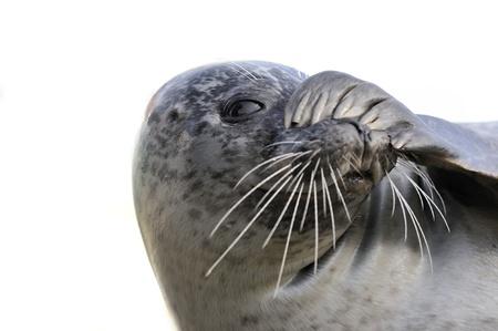 peekaboo: peek-a-boo seal