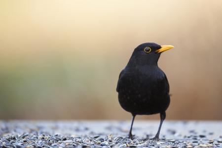 blackbird: Common Blackbird (Turdus merula) at a feeder in a garden