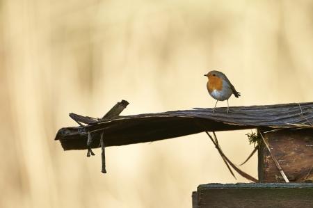 rubecula: Small European Robin (Erithacus rubecula)  in a garden
