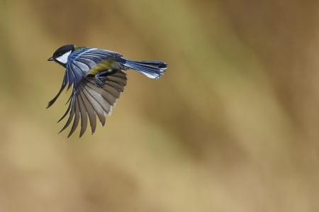 tit: Great tit flying