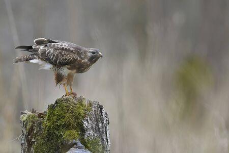 일반적인 buzzard (buteo buteo)