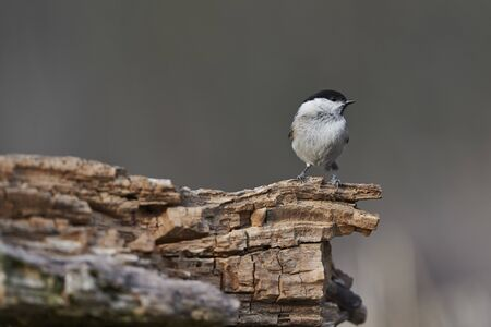 Marsh Tit perching on log photo