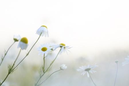 여름 필드에서 카모마일 꽃 스톡 콘텐츠