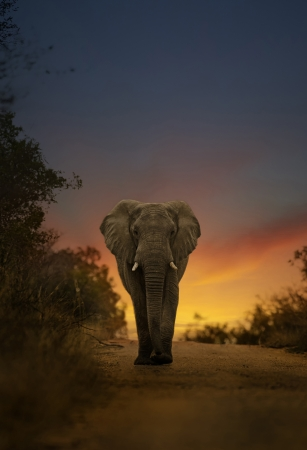 tanzania: african elephant walking in sunset