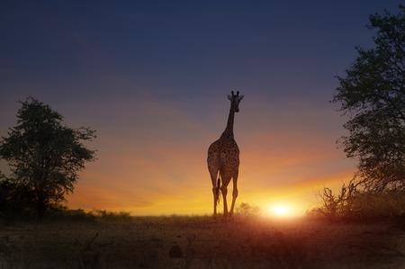 일몰에서 산책하는 아프리카 기린