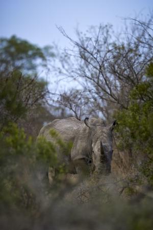 부시에 아프리카 흰 코뿔소