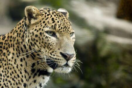 animal heads: Jaguar portrait
