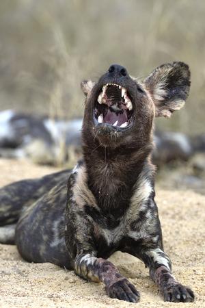 wild dog: A howling wild dog