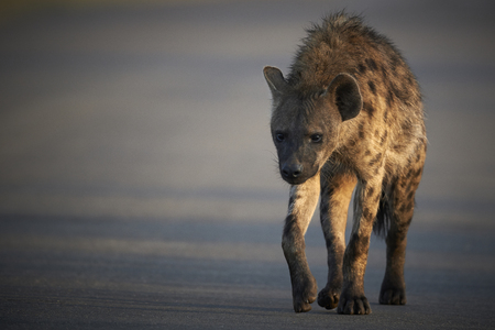 hyena: Spotted hyena crossing a road in the early morning light