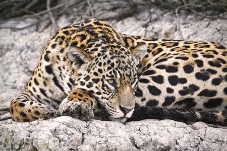 재규어, Pantanal, 브라질의 강둑에 스톡 콘텐츠