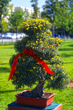 Chrysanthemum tree Banco de Imagens