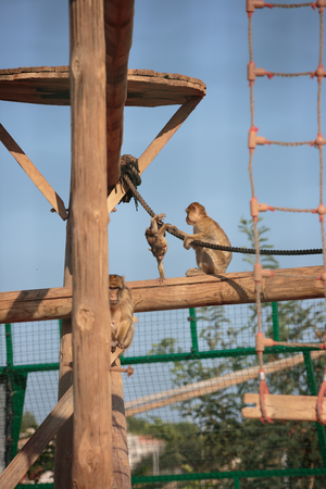 A young monkey playing with his parents